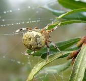 008-Marmorierte-Kreuzspinne-Araneus-marmoreus-L.-Klasing-1