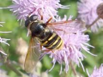 Große Torfschwebfliege Weibchen (Sericomyia silentis) L. Klasing