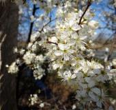 001-Schlehe-Prunus-spinosa-L.-Klasing-