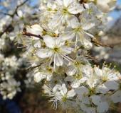 002-Schlehe-Prunus-spinosa-L.-Klasing-
