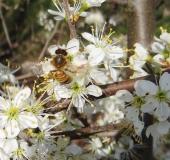 003-Schlehe-Prunus-spinosa-L.-Klasing-