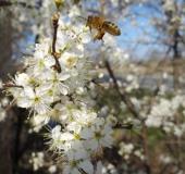 004-Schlehe-Prunus-spinosa-L.-Klasing-1