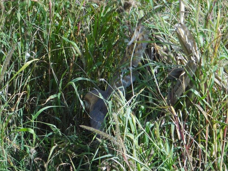 Verletzte Schleiereule (Tyto alba) am Wegesrand-L. Klasing