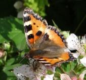 004-Kleiner-Fuchs-auf-einer-Brombeerblüte-Aglais-urticae-02.07.2013-L.-Klasing-
