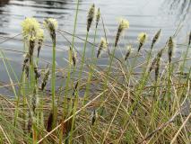 Blütenstand Scheidiges Wollgras (Eriophorum vaginatum) L. Klasing