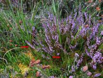 Schmalblättriges Wollgras (Eriophorum angustifolium) L. Klasing