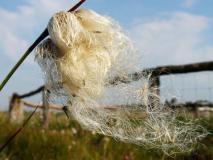 Samenreife Schmalblättriges Wollgras (Eriophorum angustifolium) L. Klasing)