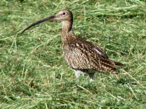 012 Großer Brachvogel (Numenius arquata)