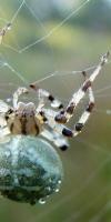 012 Vierfleck Kreuzspinne (Araneus Quadratus)-L. Klasing