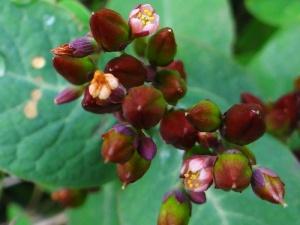 006 Blüte Frasers Auenhartheu (Triadenum fraseri)-L. Klasing
