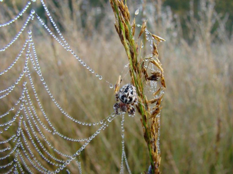 011-Schilfradspinne-Larinioides-Cornutus-L-Klasing